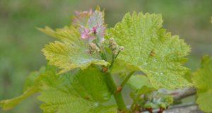 Vignoble de l'AOP Tursan